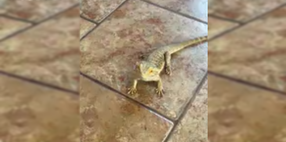 lizard Struggles for a treat