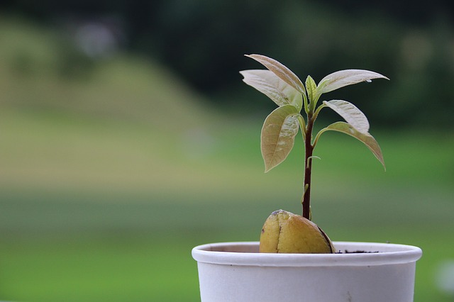 Diy a cool looking table that you can make over the for Grow your own avocado tree from seed