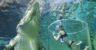Franny swimming with a 17 foot long crocodile